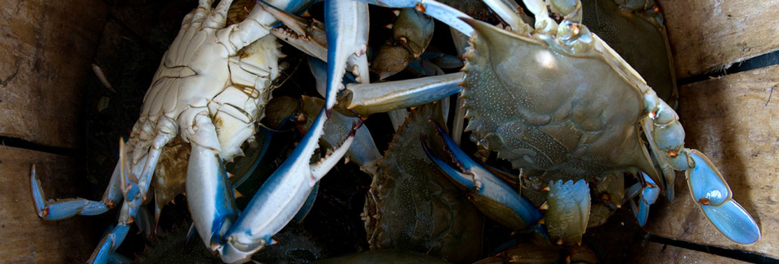 Blue Crabs - Crabbing Supplies at Harford Crabbing & Tackle