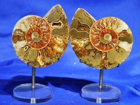 Ammonite Fossil Pairs - Medium