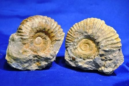 Ammonite Fossil Raw - Medium