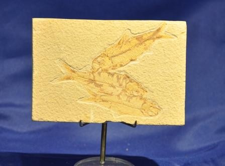 Fossil Fish - Large