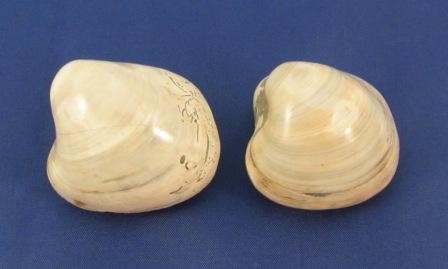 Fossil Clams Small