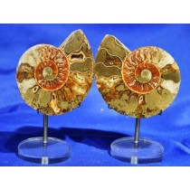 Ammonite Fossil Pairs - Medium