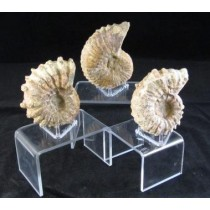 Ammonite Fossil Raw - Small