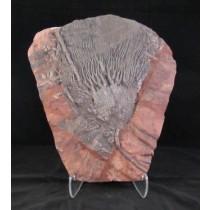 Crinoid Plaque