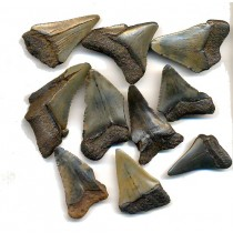 Megalodon Teeth - B Quality