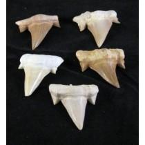 Otodus Obliquus Tooth