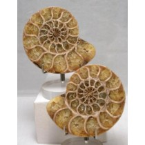 Ammonite Fossil Pairs - Small